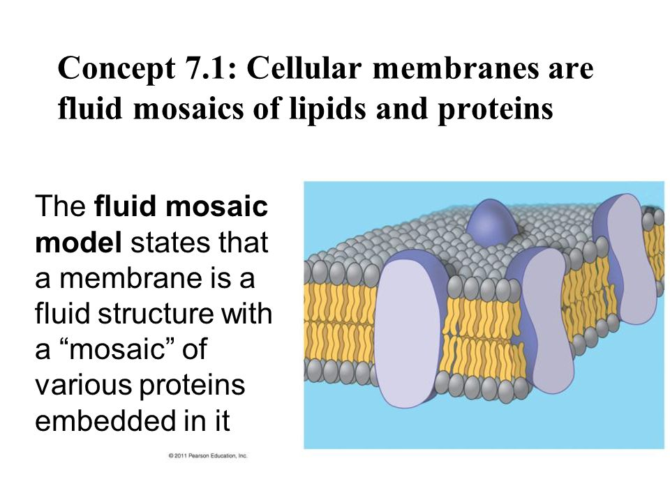 Concept 7.1: Cellular membranes are fluid mosaics of lipids and proteins