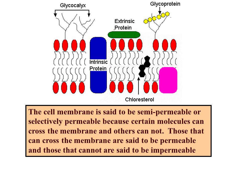 The cell membrane is said to be semi-permeable or selectively permeable because certain molecules can cross the membrane and others can not.