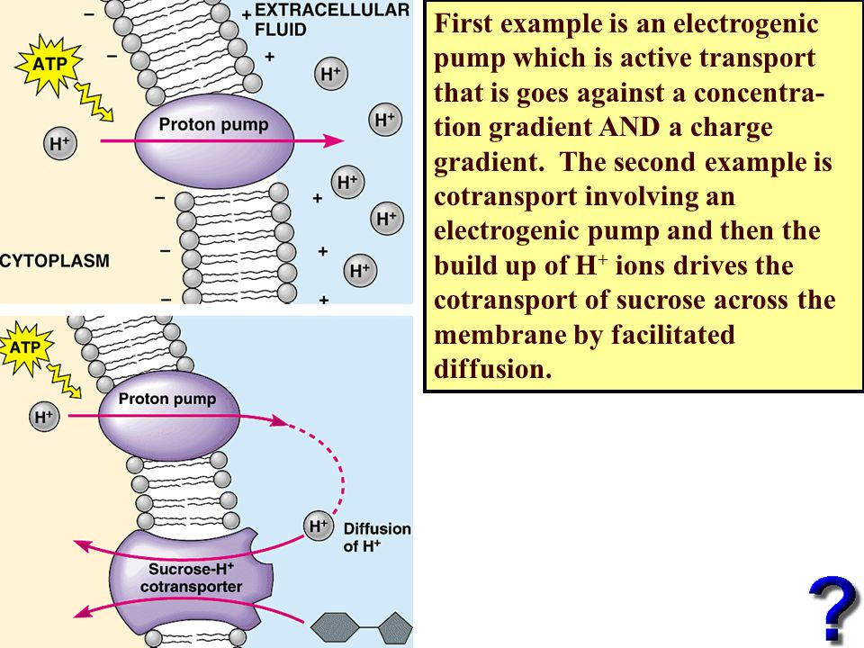 First example is an electrogenic pump which is active transport that is goes against a concentra-tion gradient AND a charge gradient.