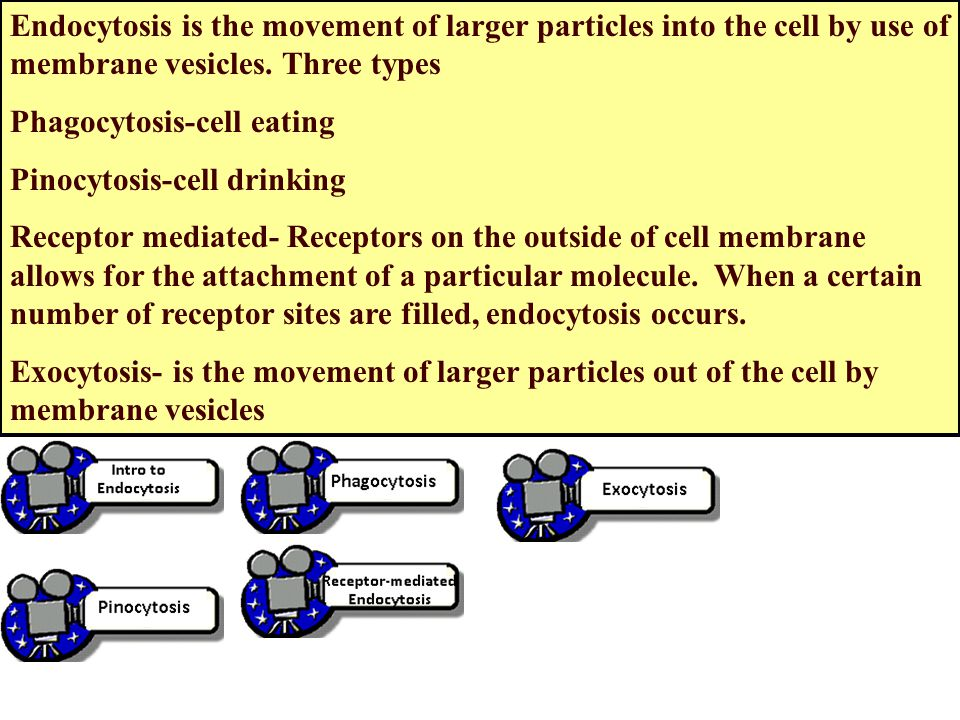 Endocytosis is the movement of larger particles into the cell by use of membrane vesicles. Three types