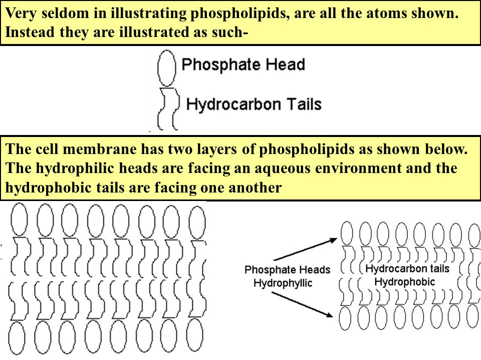 Very seldom in illustrating phospholipids, are all the atoms shown