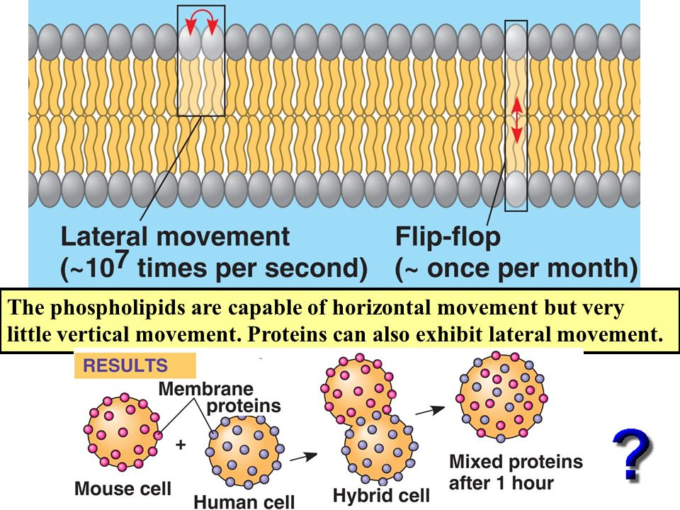 The phospholipids are capable of horizontal movement but very little vertical movement.