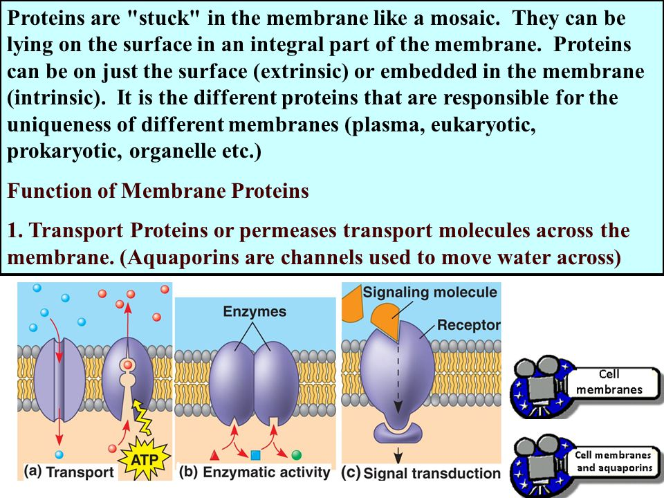Proteins are stuck in the membrane like a mosaic