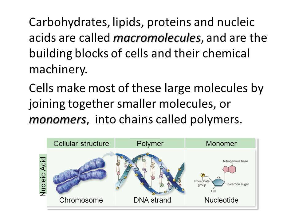 Carbohydrates, lipids, proteins and nucleic acids are called macromolecules, and are the building blocks of cells and their chemical machinery. Cells make most of these large molecules by joining together smaller molecules, or monomers, into chains called polymers.
