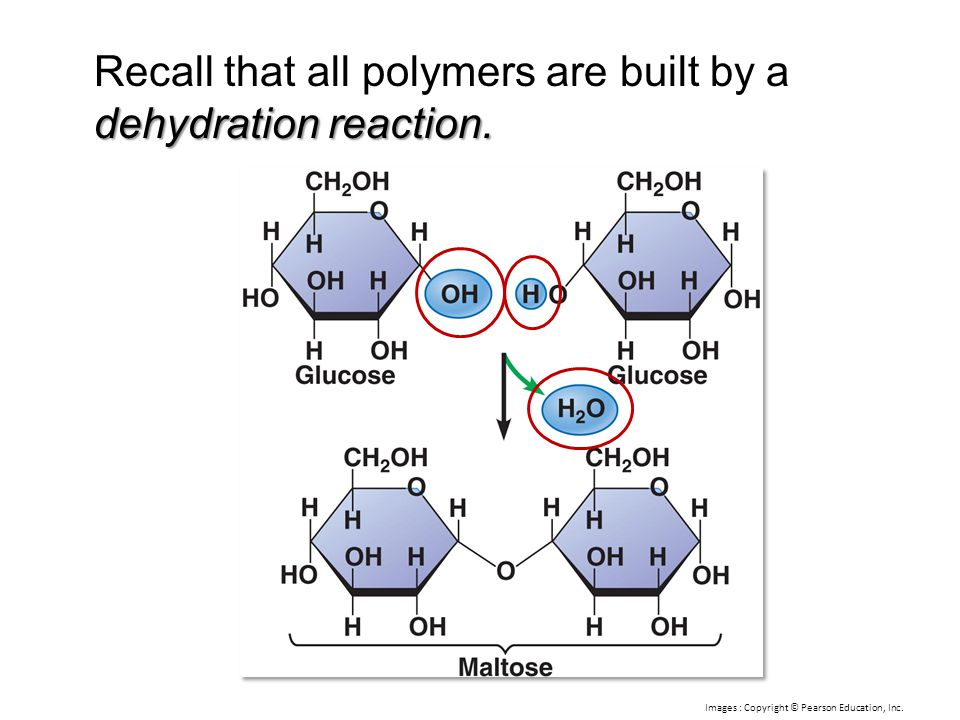 Recall that all polymers are built by a dehydration reaction.
