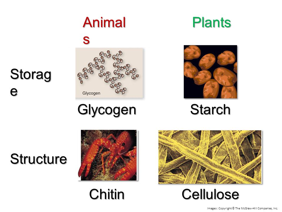 Animals Plants Storage Glycogen Starch Structure Chitin Cellulose