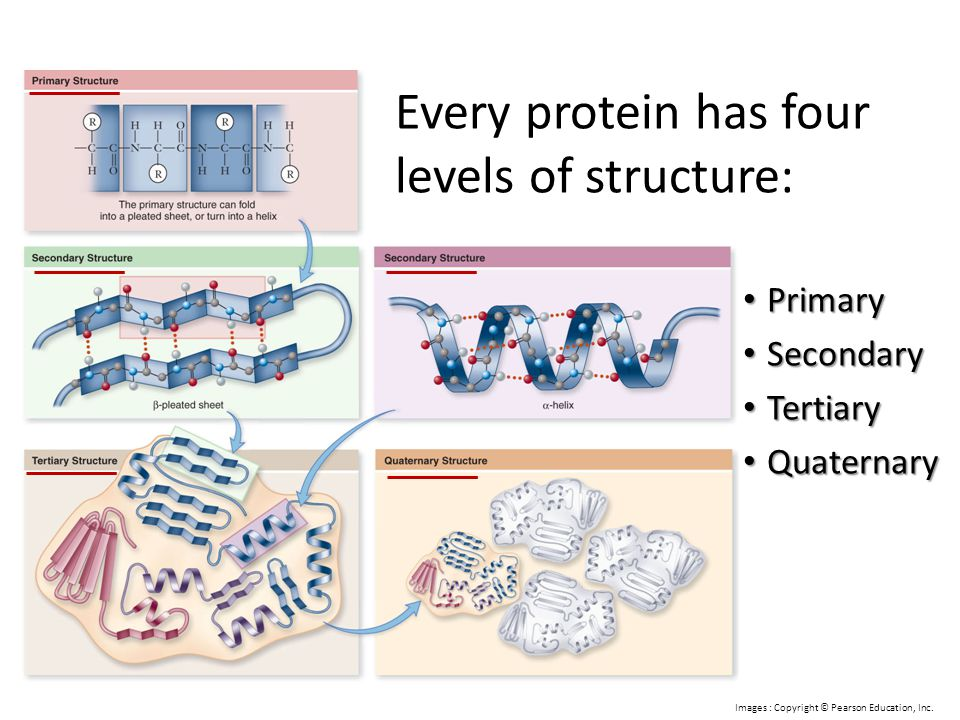 Every protein has four levels of structure: