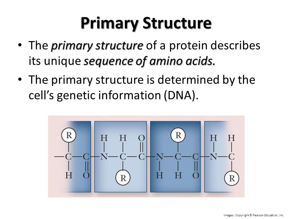 Primary Structure The primary structure of a protein describes its unique sequence of amino acids.