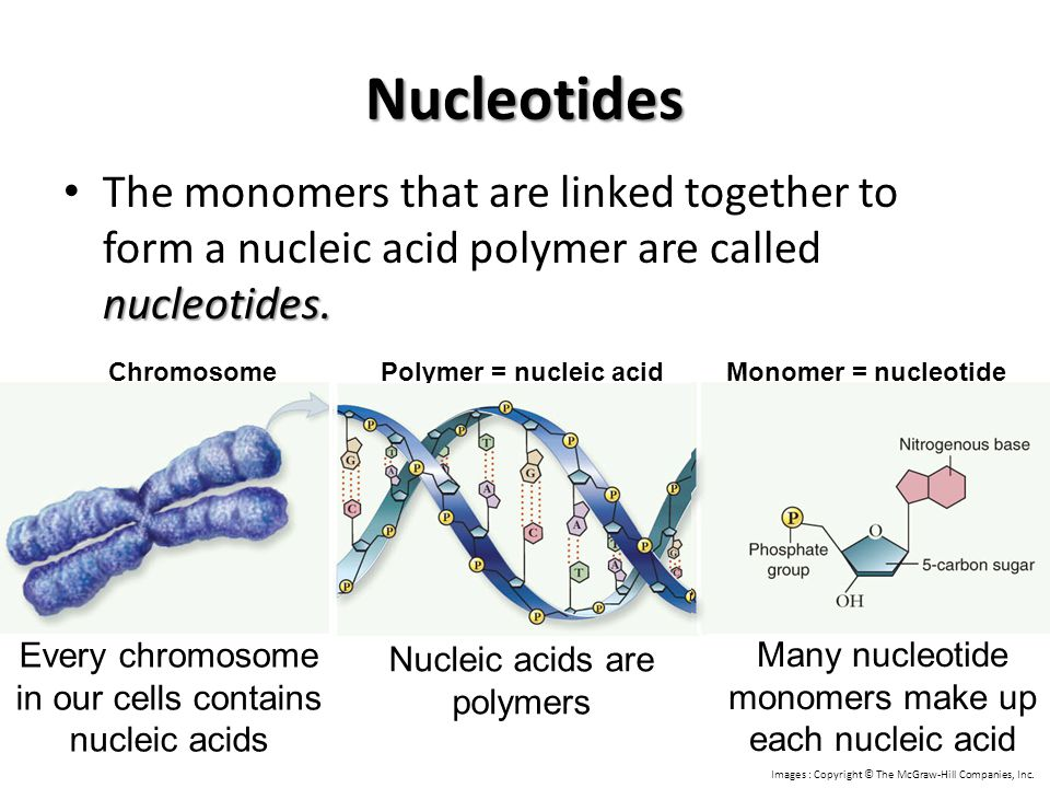 Nucleotides The monomers that are linked together to form a nucleic acid polymer are called nucleotides.