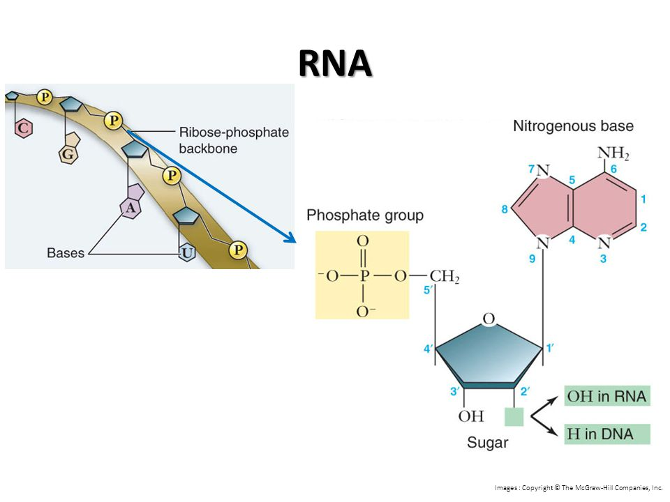 RNA Images : Copyright © The McGraw-Hill Companies, Inc.