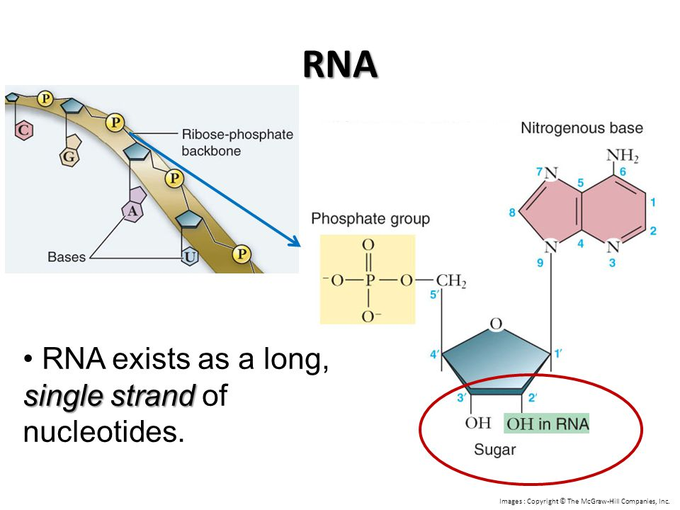 RNA RNA exists as a long, single strand of nucleotides.