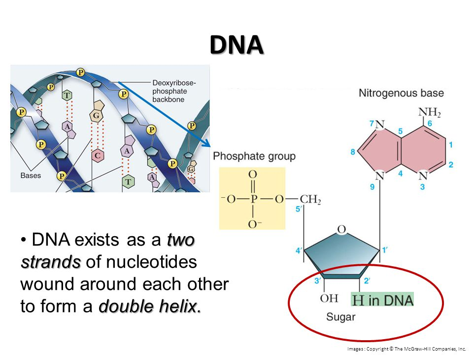 DNA DNA exists as a two strands of nucleotides wound around each other to form a double helix.