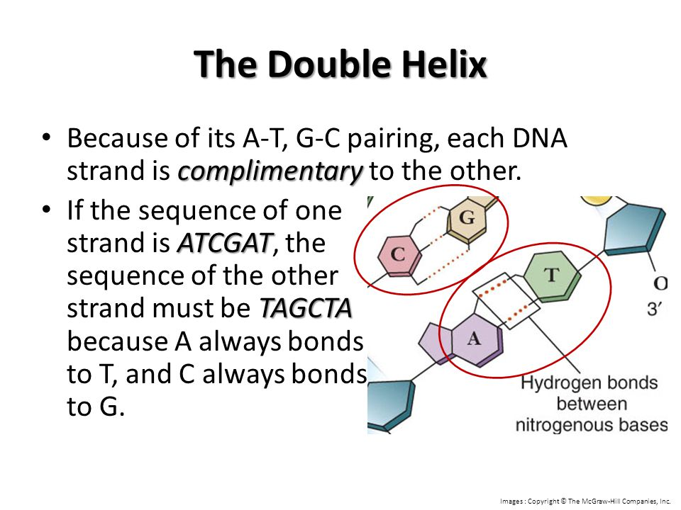 The Double Helix Because of its A-T, G-C pairing, each DNA strand is complimentary to the other.