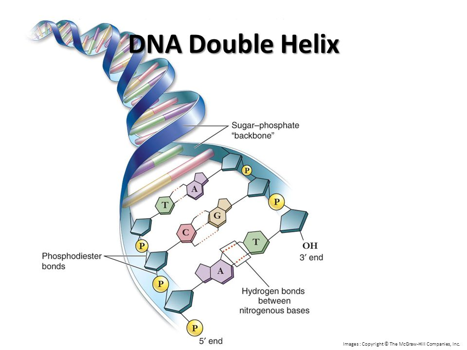 DNA Double Helix Images : Copyright © The McGraw-Hill Companies, Inc.