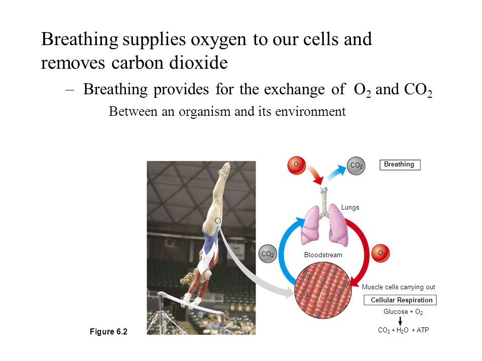 Breathing supplies oxygen to our cells and removes carbon dioxide