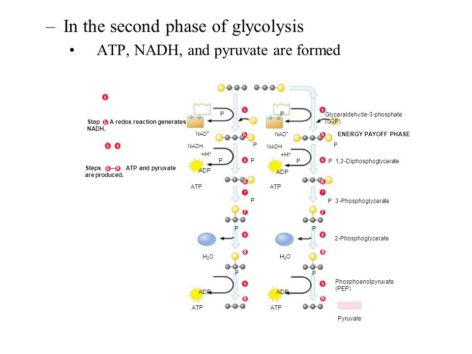 In the second phase of glycolysis