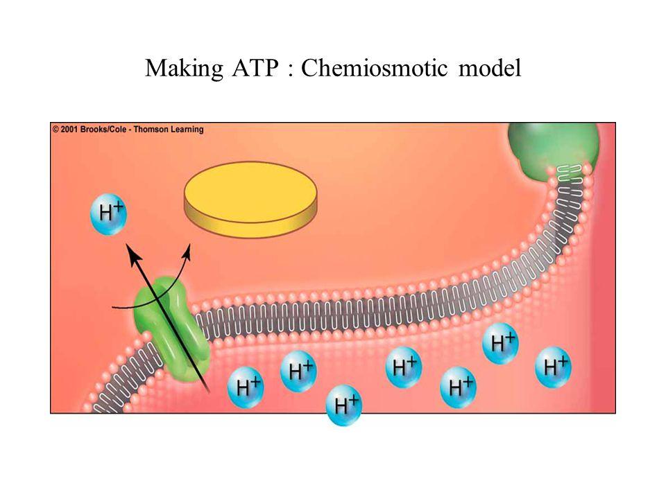 Making ATP : Chemiosmotic model