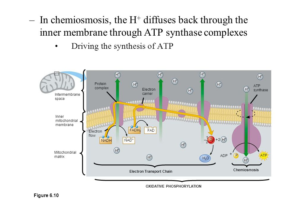 In chemiosmosis, the H+ diffuses back through the inner membrane through ATP synthase complexes Driving the synthesis of ATP.