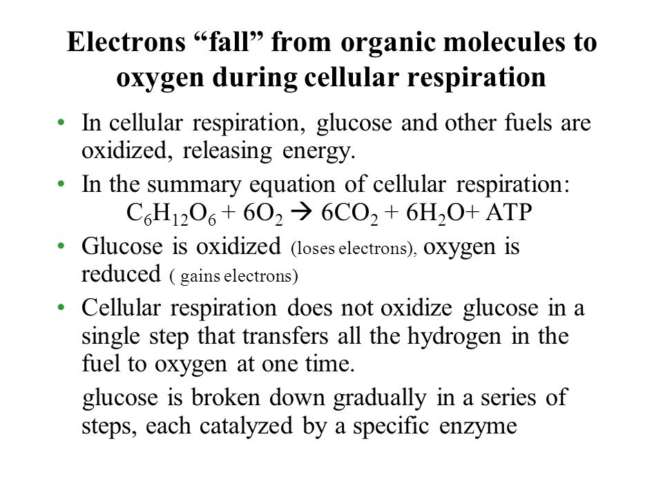 Electrons fall from organic molecules to oxygen during cellular respiration