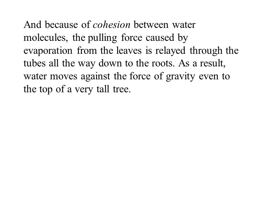 And because of cohesion between water molecules, the pulling force caused by evaporation from the leaves is relayed through the tubes all the way down to the roots.