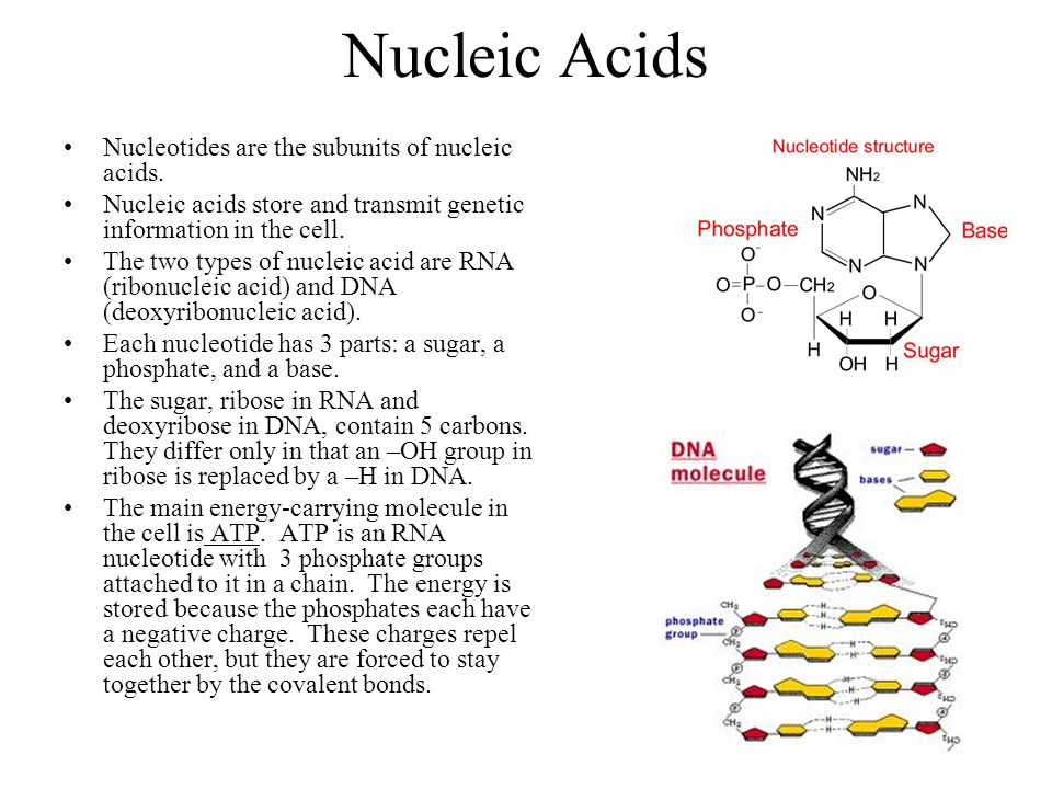 Nucleic Acids Nucleotides are the subunits of nucleic acids.