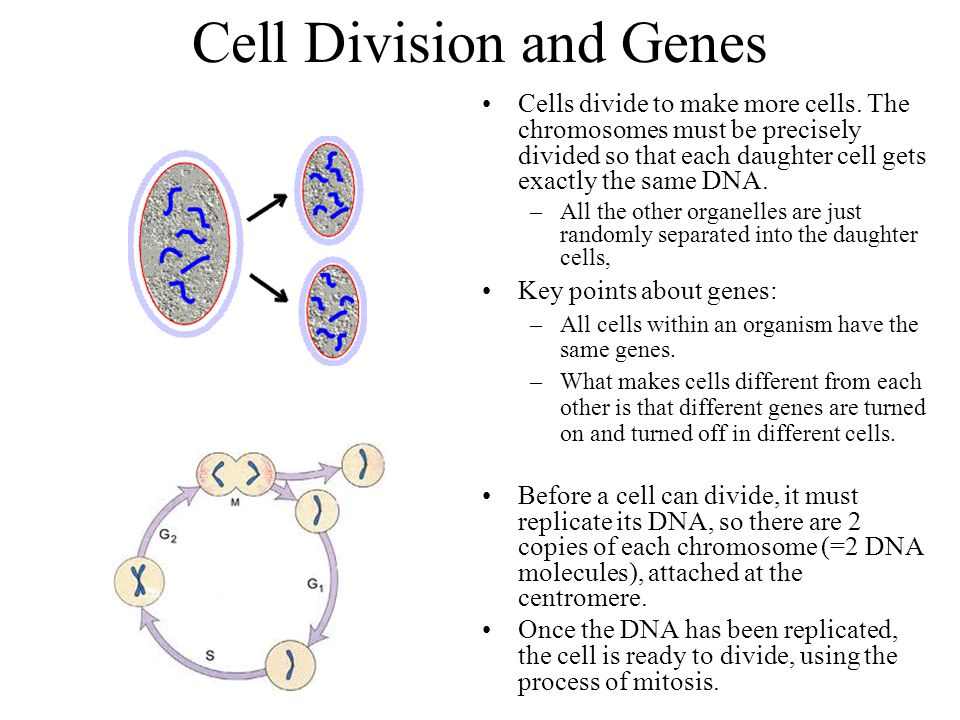 Cell Division and Genes