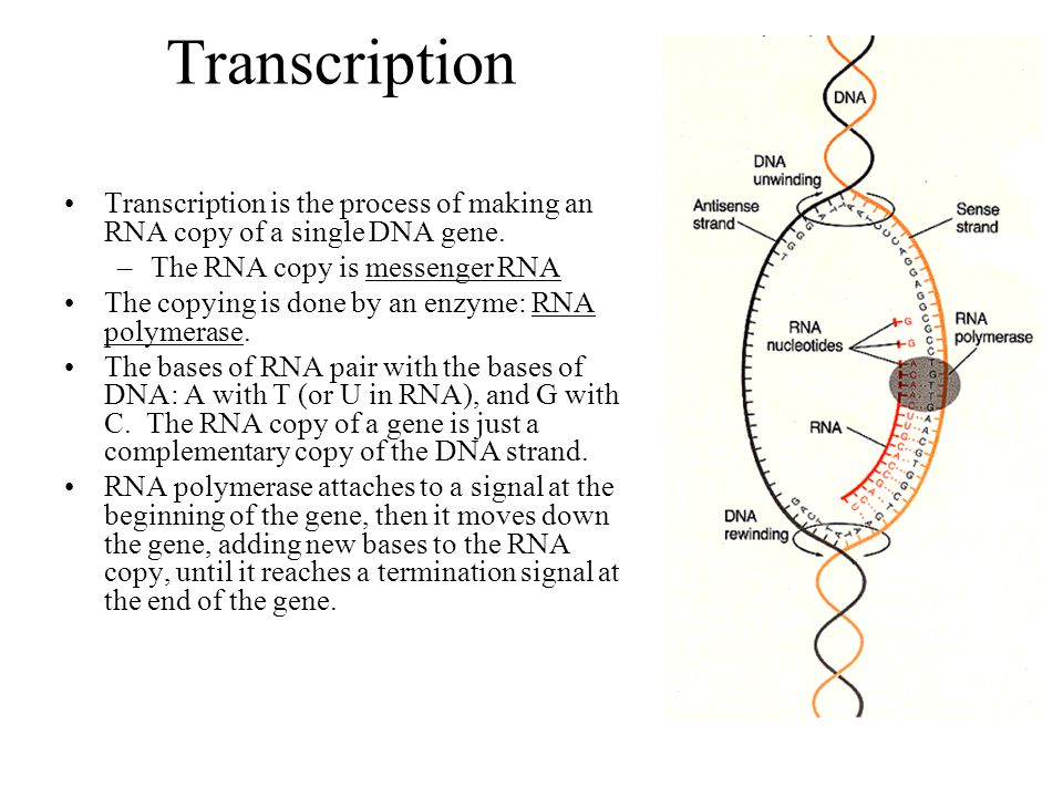 Transcription Transcription is the process of making an RNA copy of a single DNA gene. The RNA copy is messenger RNA.