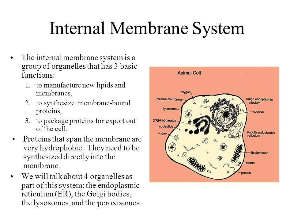 Internal Membrane System