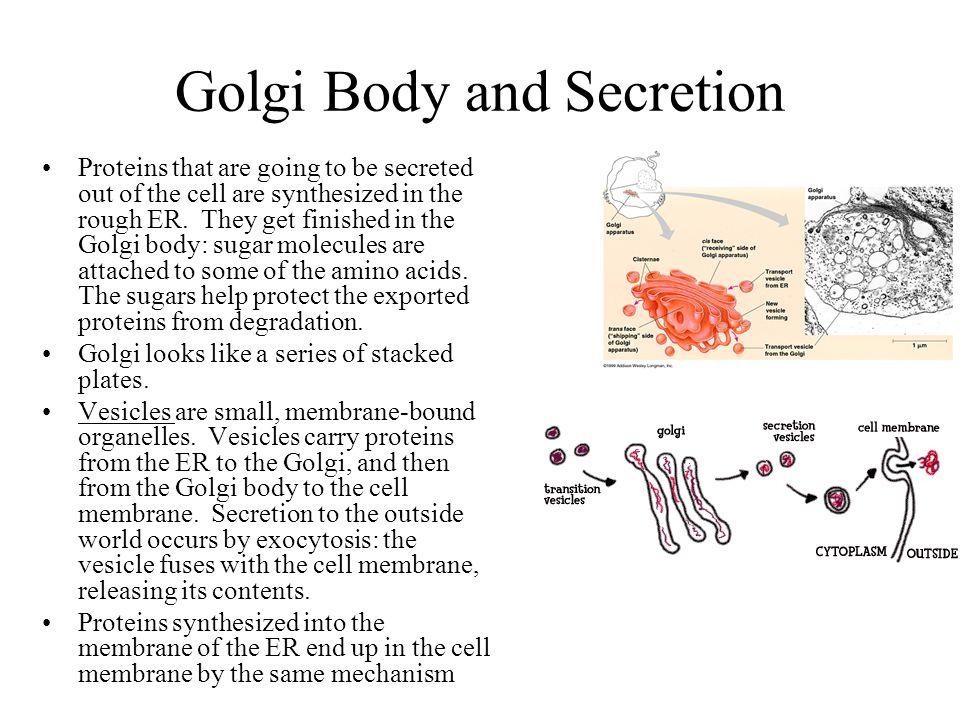 Golgi Body and Secretion