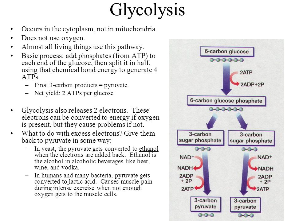 Glycolysis Occurs in the cytoplasm, not in mitochondria