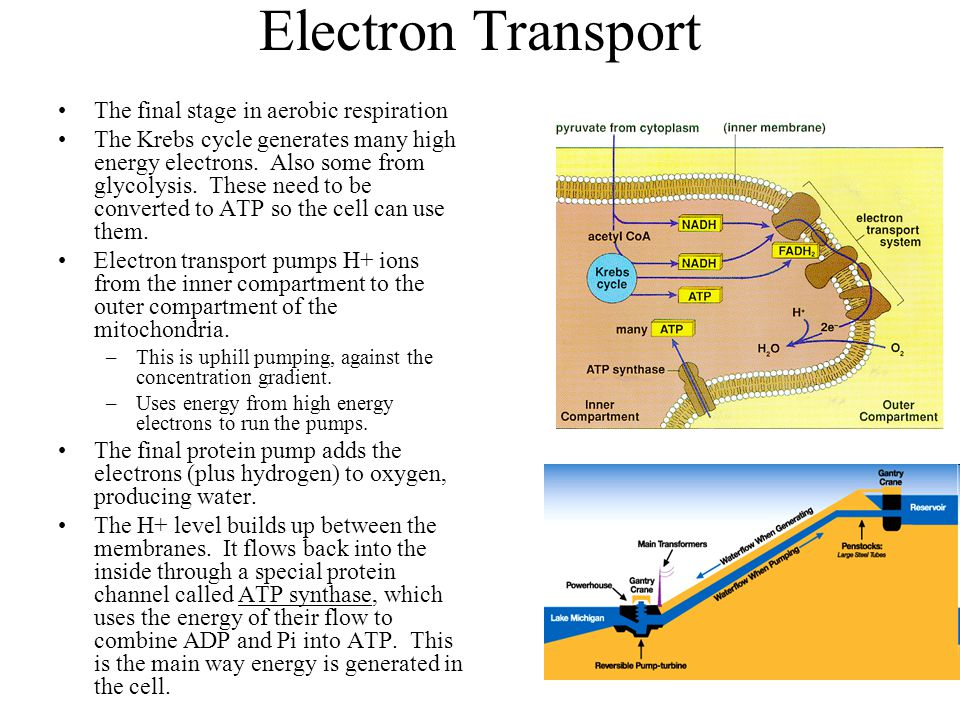 Electron Transport The final stage in aerobic respiration