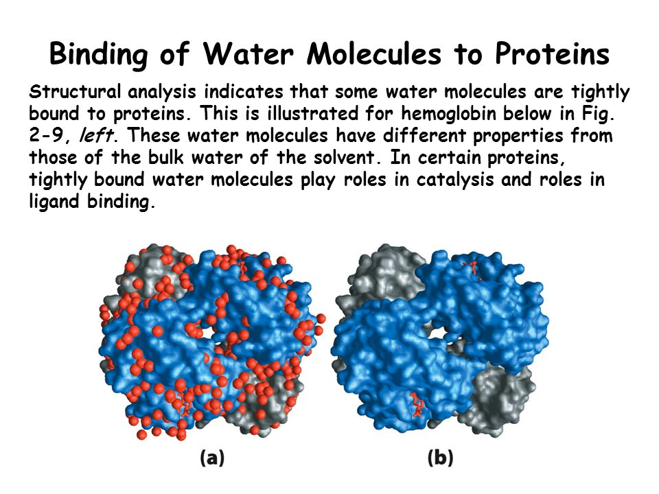 Binding of Water Molecules to Proteins