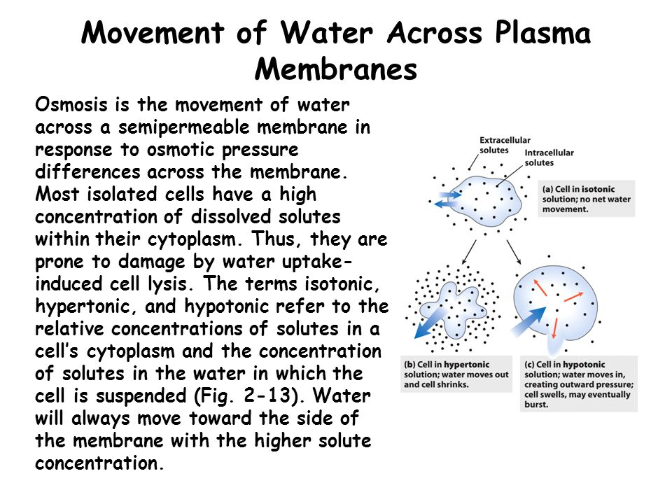 Movement of Water Across Plasma Membranes