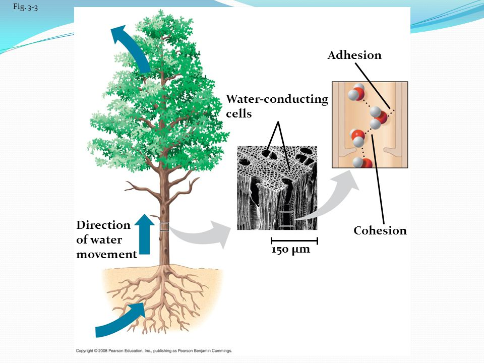 Adhesion Water-conducting cells Direction Cohesion of water movement