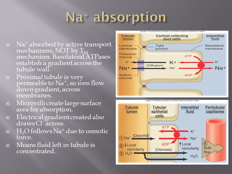 Na+ absorption Na+ absorbed by active transport mechanisms, NOT by TM mechanism. Basolateral ATPases establish a gradient across the tubule wall.