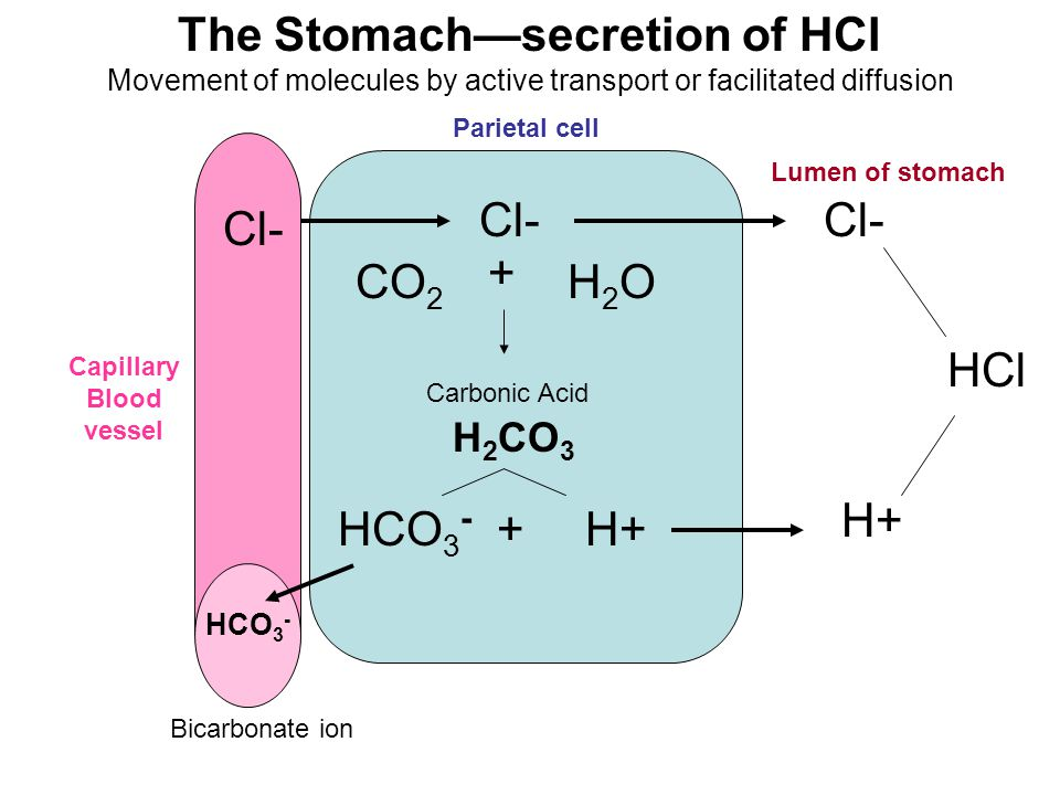 The Stomach—secretion of HCl