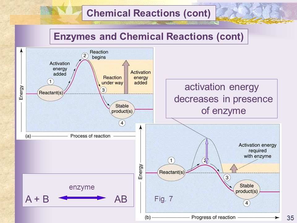 Chemical Reactions (cont) Enzymes and Chemical Reactions (cont)