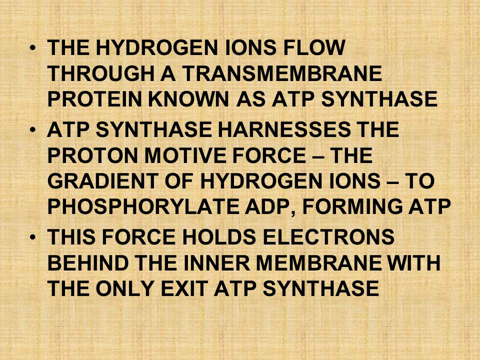 THE HYDROGEN IONS FLOW THROUGH A TRANSMEMBRANE PROTEIN KNOWN AS ATP SYNTHASE
