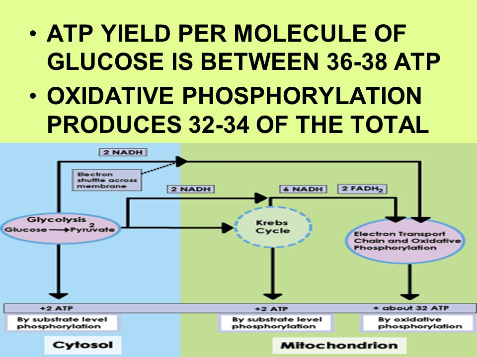 ATP YIELD PER MOLECULE OF GLUCOSE IS BETWEEN 36-38 ATP