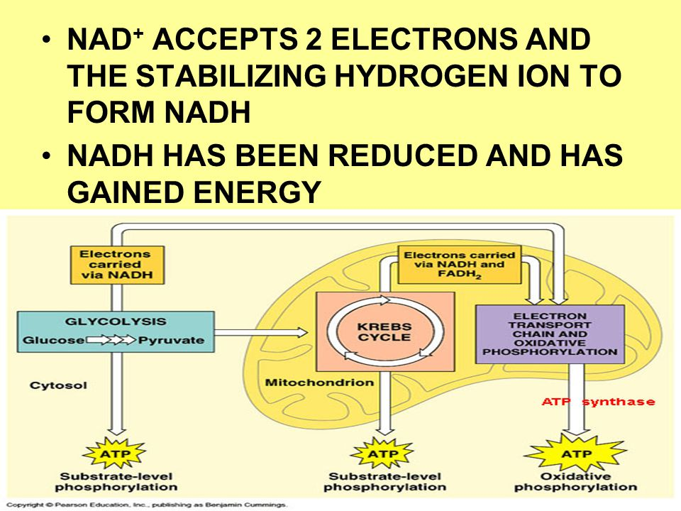 NAD+ ACCEPTS 2 ELECTRONS AND THE STABILIZING HYDROGEN ION TO FORM NADH