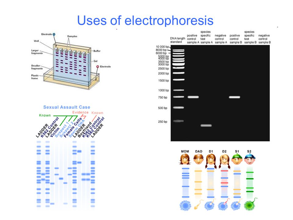 Uses of electrophoresis