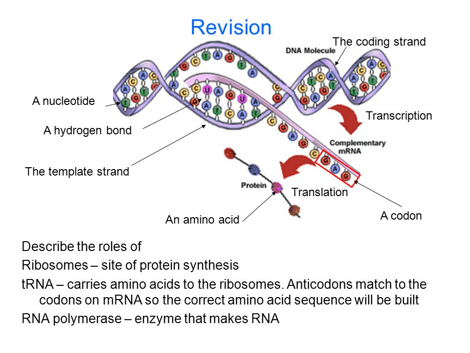 Revision Describe the roles of Ribosomes – site of protein synthesis