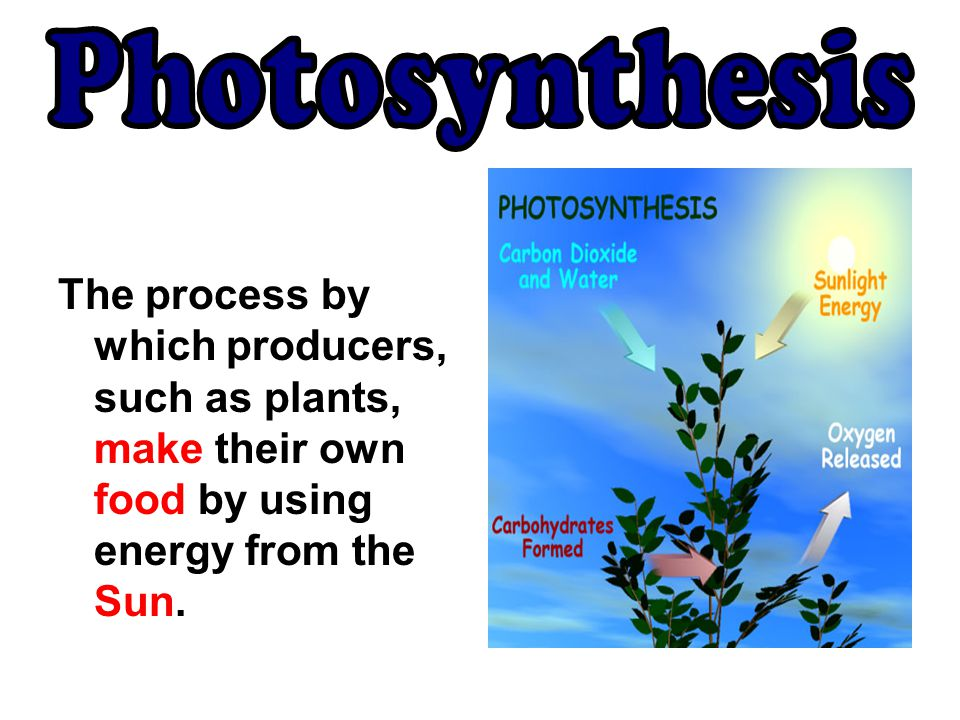 Photosynthesis The process by which producers, such as plants, make their own food by using energy from the Sun.