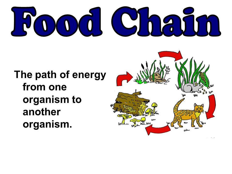 Food Chain The path of energy from one organism to another organism.