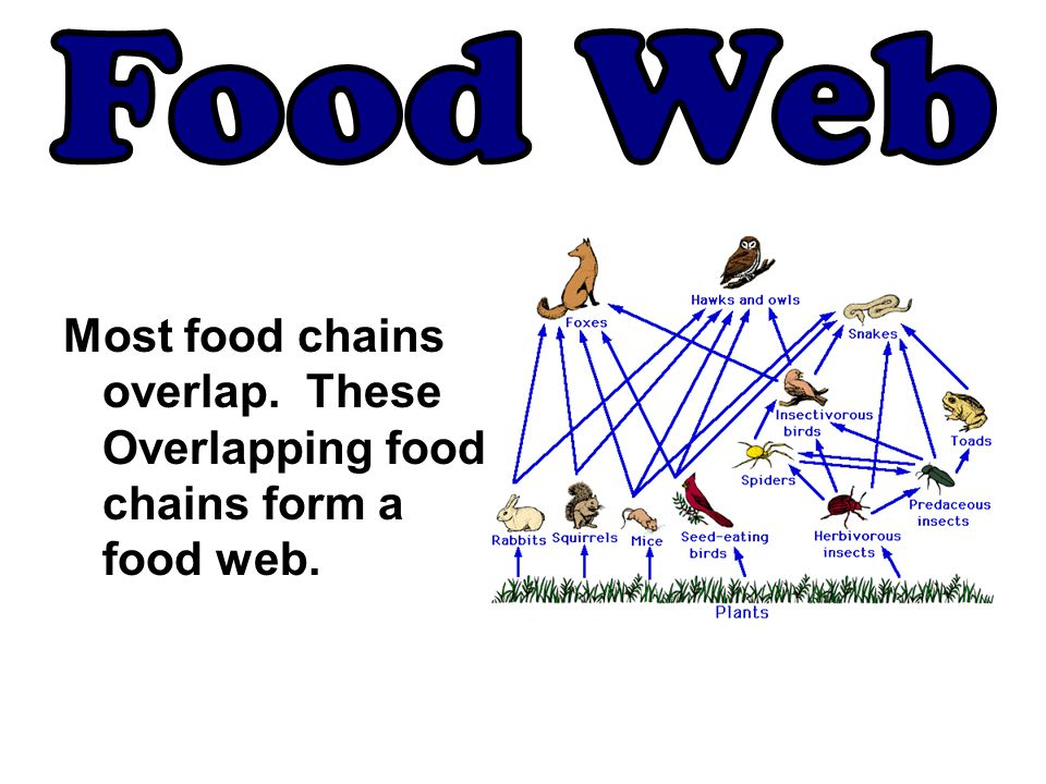 Food Web Most food chains overlap. These Overlapping food chains form a food web.