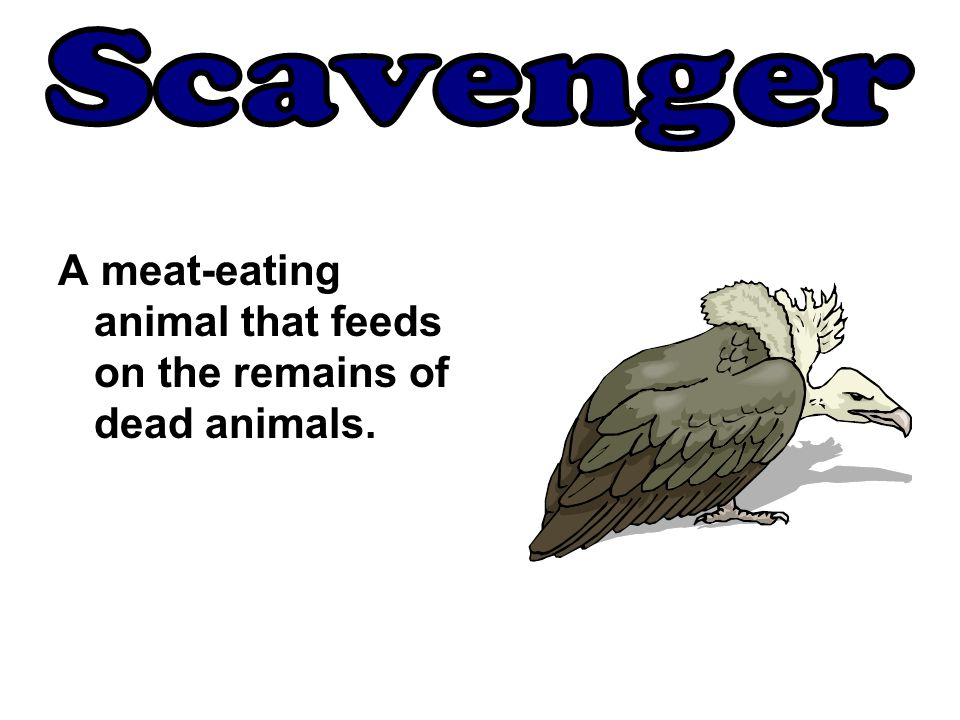Scavenger A meat-eating animal that feeds on the remains of dead animals.