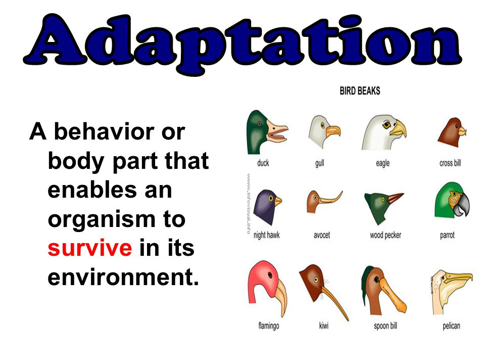 Adaptation A behavior or body part that enables an organism to survive in its environment.