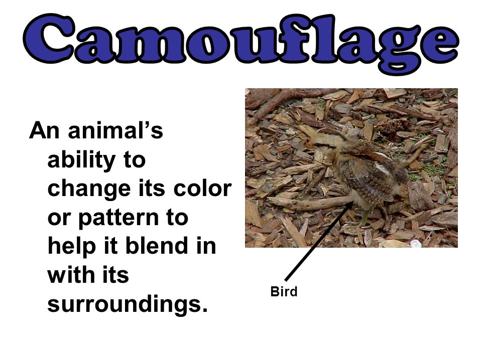 Camouflage An animal's ability to change its color or pattern to help it blend in with its surroundings.