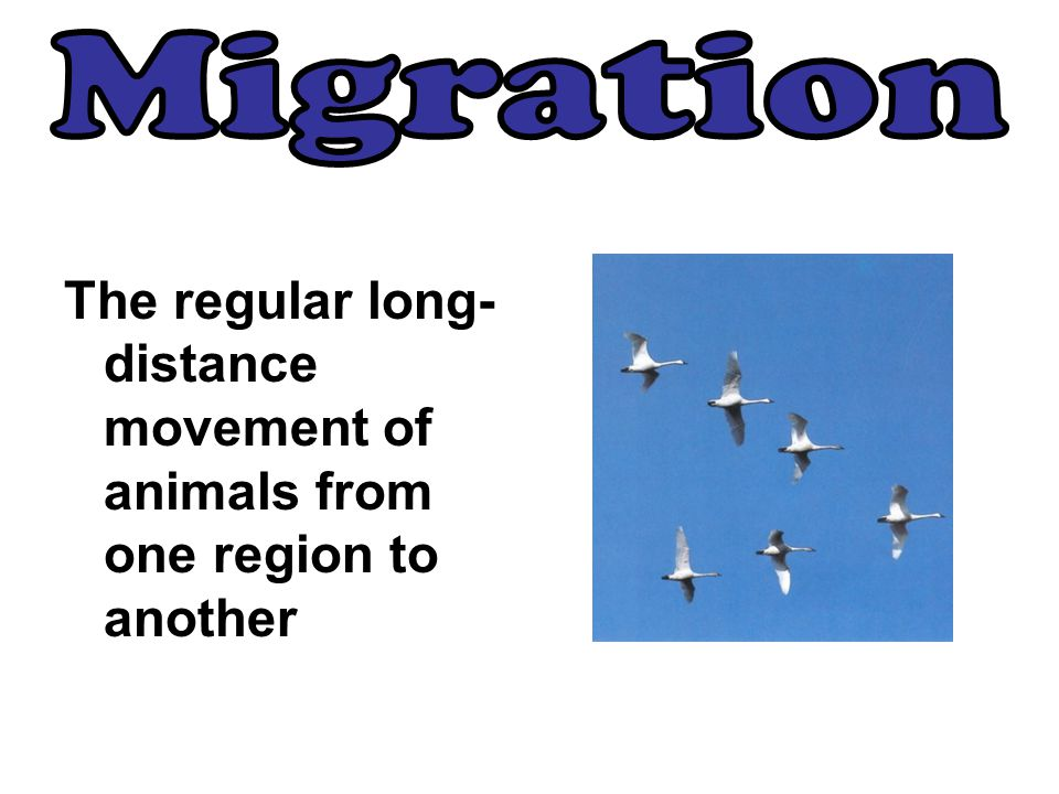 Migration The regular long-distance movement of animals from one region to another