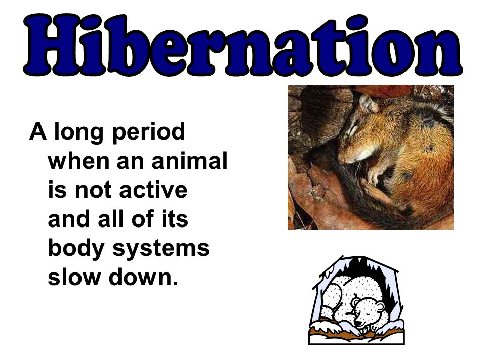 Hibernation A long period when an animal is not active and all of its body systems slow down.